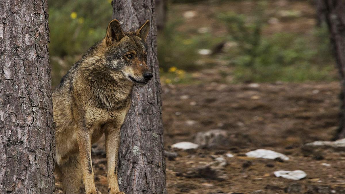 Imagen de un lobo. |   // FDV