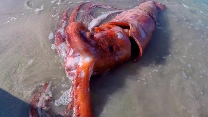Los últimos momentos del calamar gigante varado en Estaca de Bares