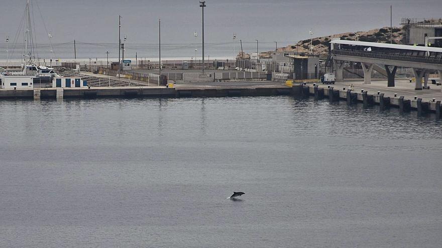 Dos delfines de caza en el puerto de Ibiza