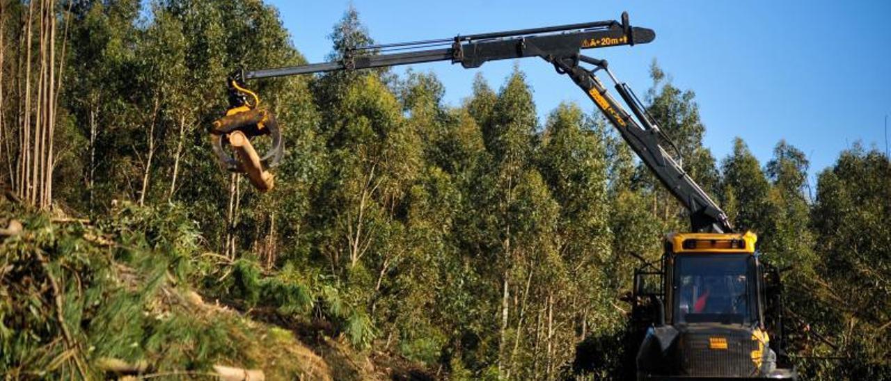 Tala de eucaliptos en Xiabre, en la comarca de Arousa