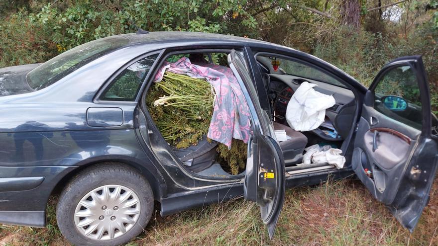 Intercepten un vehicle amb 55 plantes de marihuana en una urbanització de Caldes de Malavella