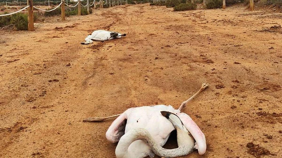 Dos flamencos muertos en el Parque Natural de ses Salines de Eivissa. | IBÁN YARZA