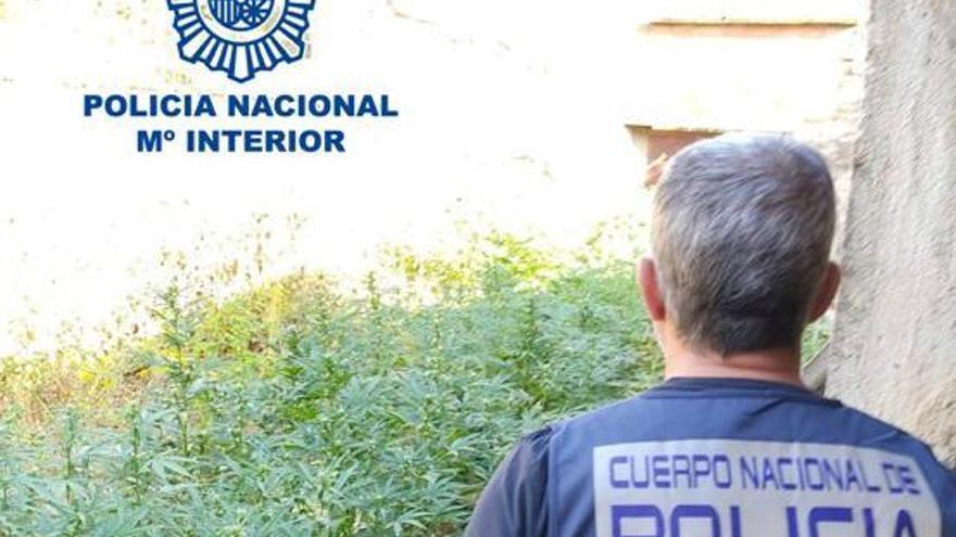 Dos detenidos en operaciones contra el cultivo de marihuana en Huerta de la Reina y Alcolea