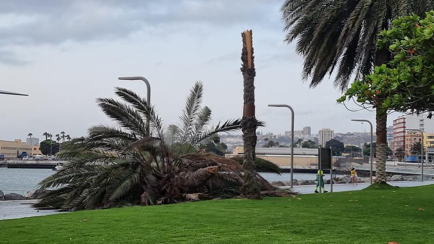 El viento tumba una palmera en el intercambiador de Santa Catalina