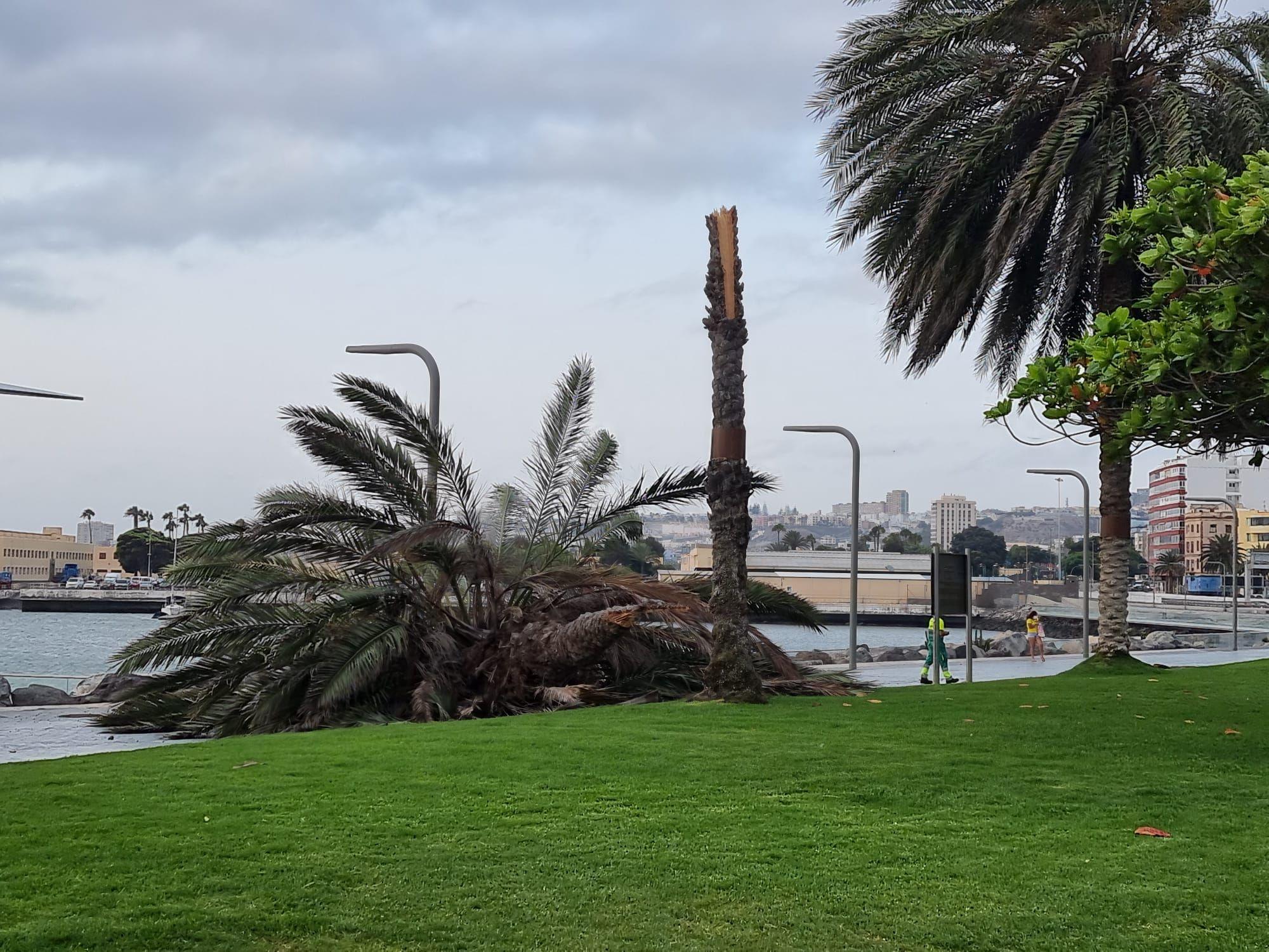 Cae una palmera en el intercambiador del parque Santa Catalina (22/07/21)