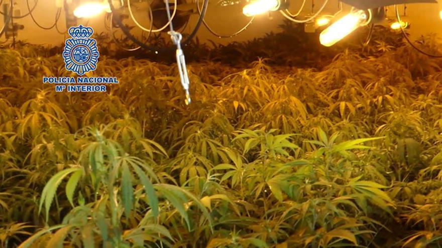 Dos detenidos en Mérida por cultivar marihuana