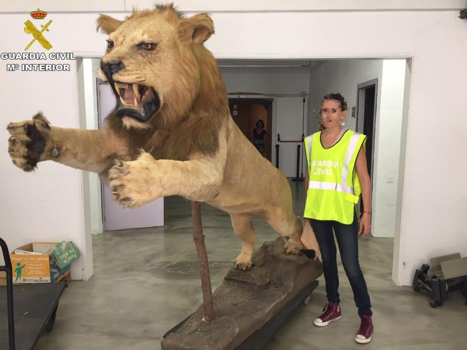 Recuperen un lleó dissecat que es venia a internet