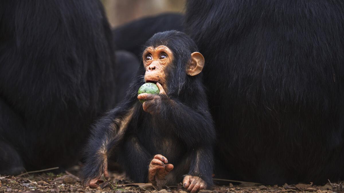 Piden mayor dureza contra el tráfico de primates en España