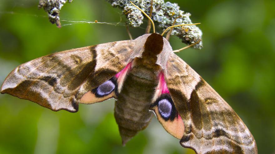 Descubren dos nuevas mariposas exclusivas de La Gomera y El Hierro