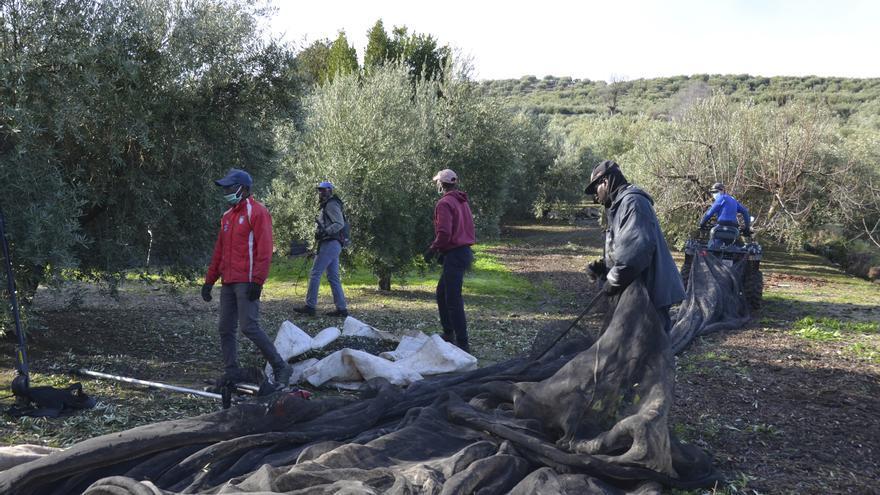 Córdoba vendió más aceite de oliva del que produjo durante la pasada campaña