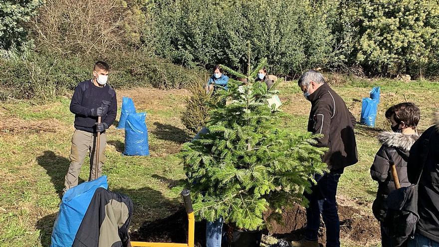 El bosque de Navidad de Tomeza ya cuenta con sus primeros 25 ejemplares