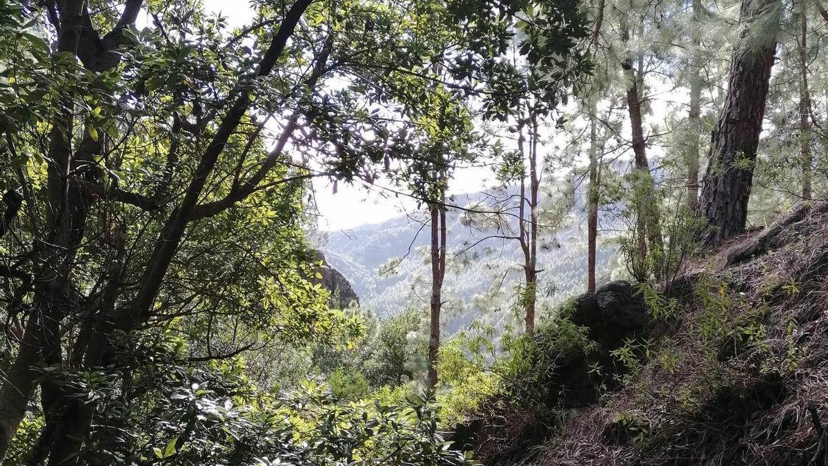 Plantan más de 20.000 especies nativas para recuperar el bosque termófilo de La Gomera
