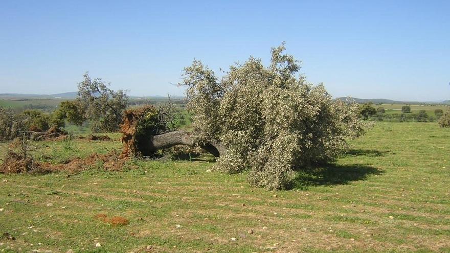 Ecologistas denuncian la tala de casi un centenar de árboles  en Zarza de Granadilla