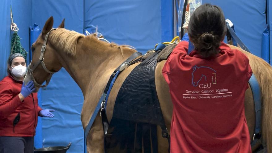 El Hospital Veterinario de la CEU UCH trata a los caballos afectados por el brote de herpesvirus equino