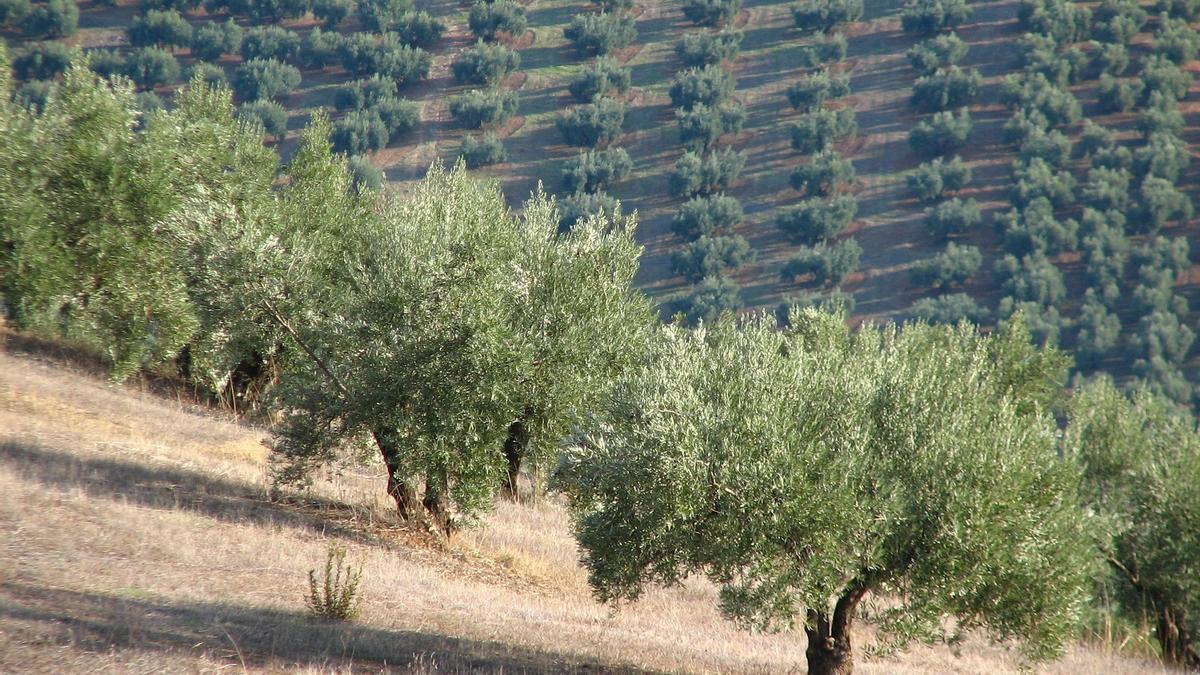 La investigación de la UCO se centra en el olivar de montaña.