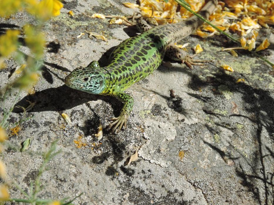 El lagarto verdinegro, técnicamente denominado lacerta schreiberi.
