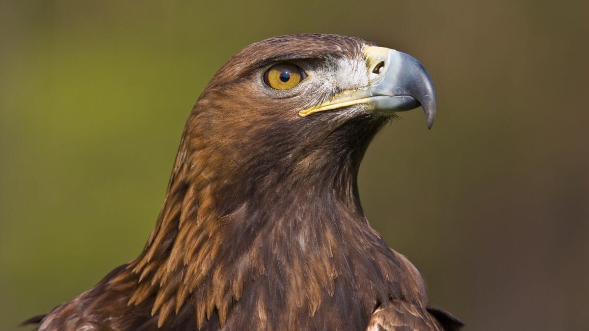 Así es el águila real, la 'reina de los cielos' españoles