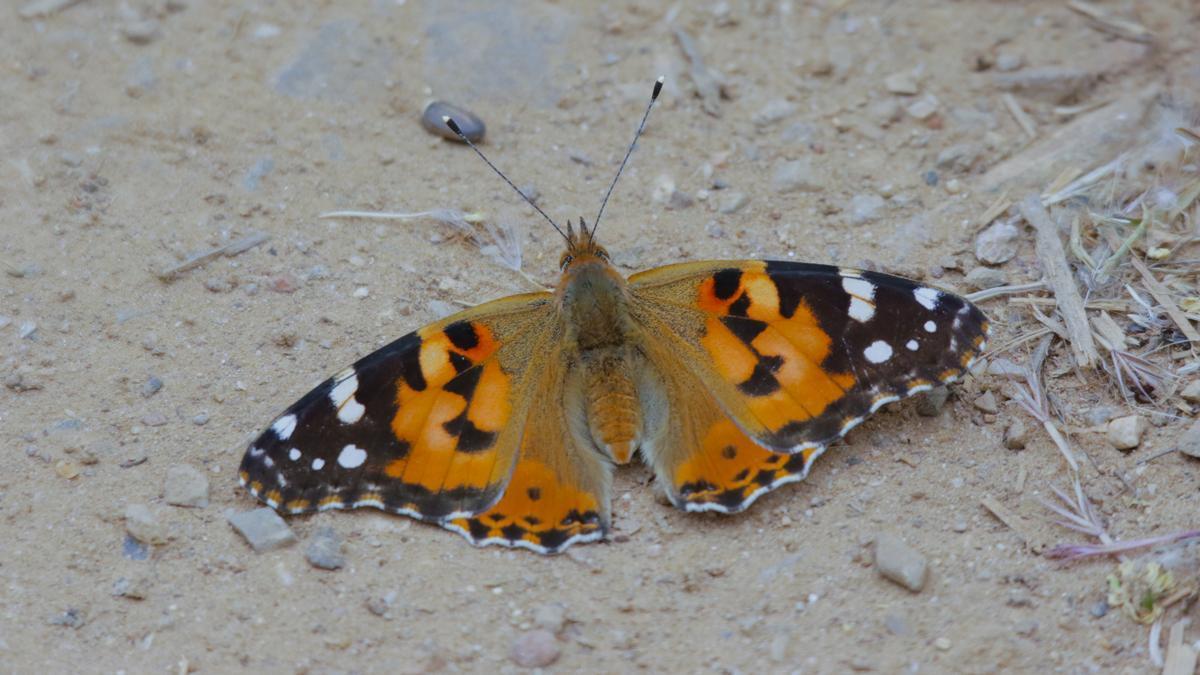Una mariposa en la Ribera.