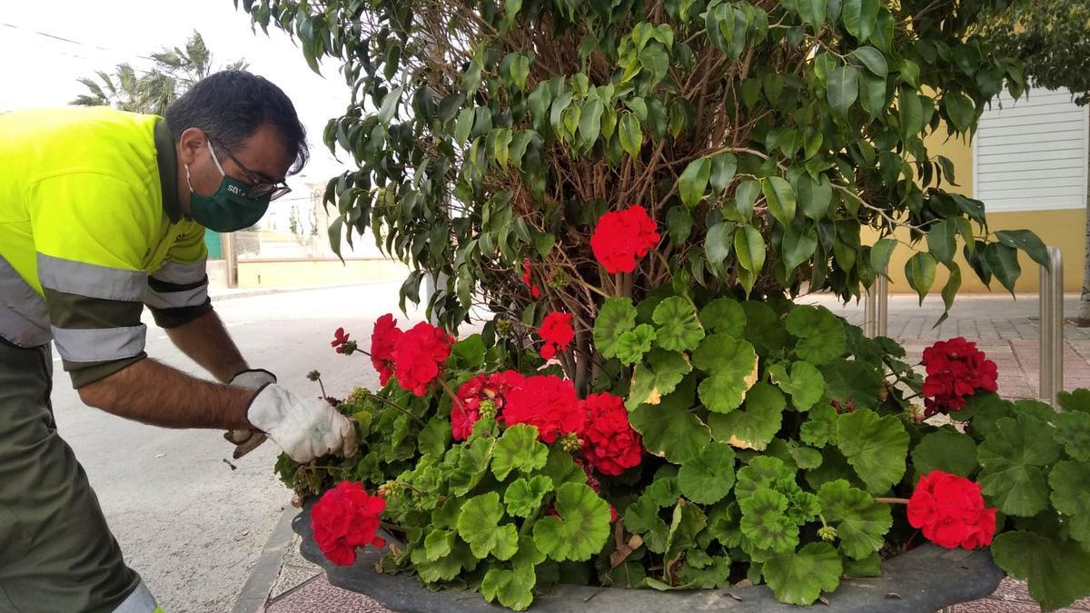 La mayor parte de los geranios que están embelleciendo las zonas verdes han sido cultivados desde esquejes en el vivero municipal del Mayayo, en Sangonera la Verde