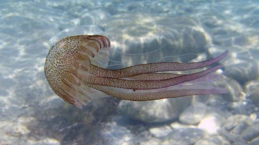Las medusas anticipan su llegada a las playas de Málaga este verano