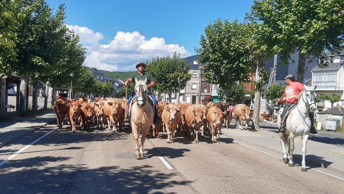 Paso de las vacas por El Puente de Sanabria