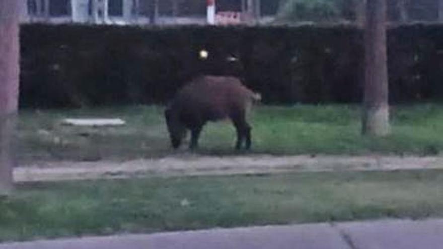 Un senglar es passeja a la llum del dia per Platja d'Aro