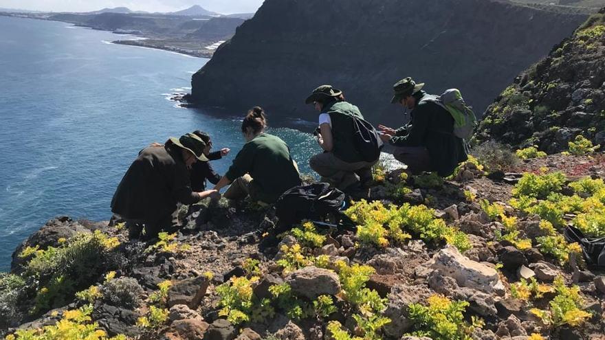 El Cabildo de Gran Canaria refuerza la protección de 25 plantas en peligro de conservación