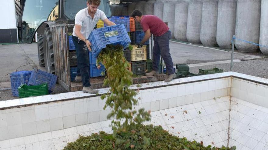 La vendimia ecológica comienza con la uva de la variedad Verdejo