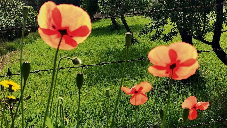 Wundervolle Blüte: Mohnblume ist auf Mallorca nicht gleich Mohnblume