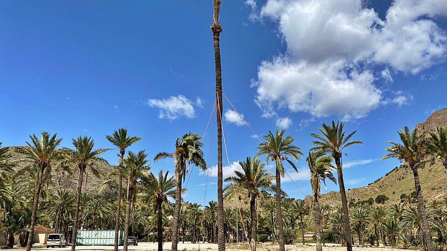Orihuela tala una palmera monumental tras gastar 3.000 euros en su trasplante