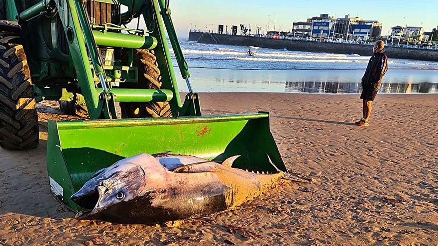 Retiran un atún muerto en la orilla de San Lorenzo
