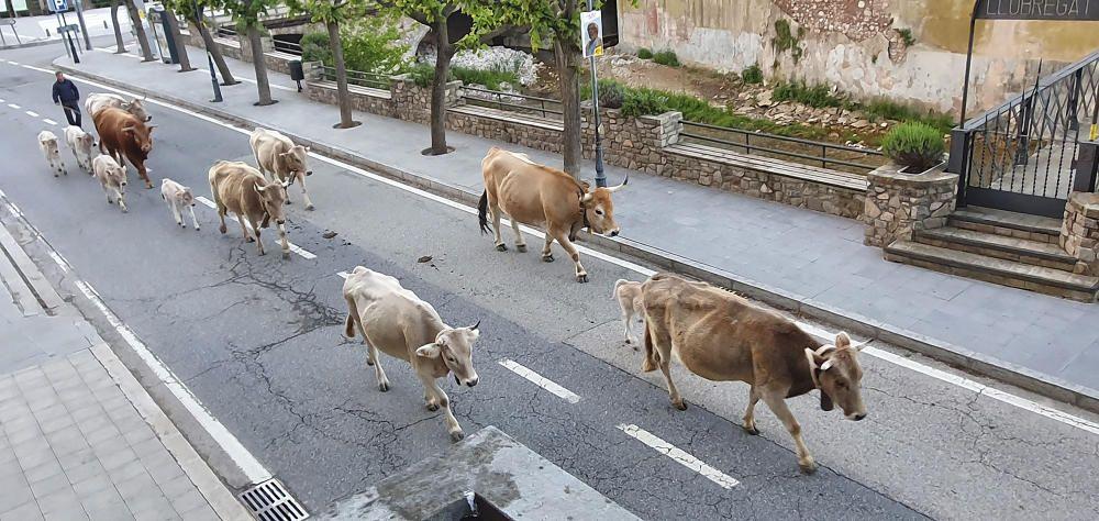 Fent camí. Canvi de casa, comencen el camí. Les vaques van a la recerca dels prats d'herba fresca. Aquesta imatge va ser captada al seu pas per la Pobla de Lillet.