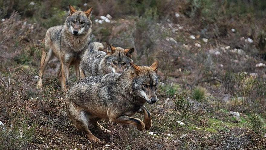 Tres ejemplares del Centro del Lobo Ibérico de Robledo. | Emilio Fraile