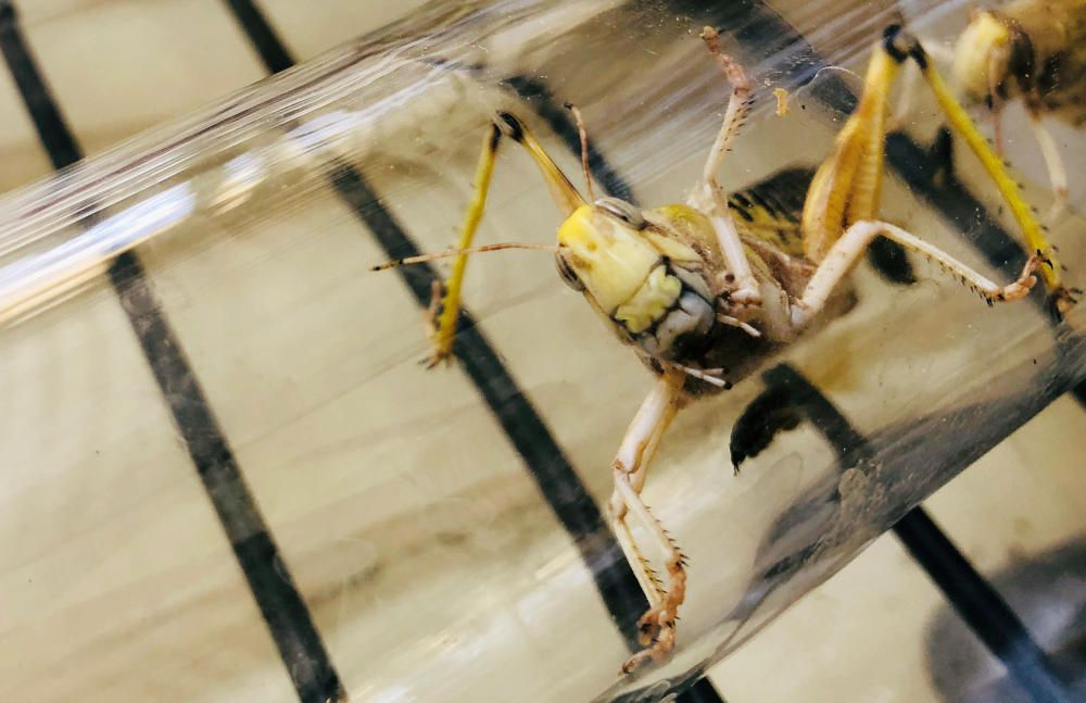 A locust used for research is seen in a glass ...