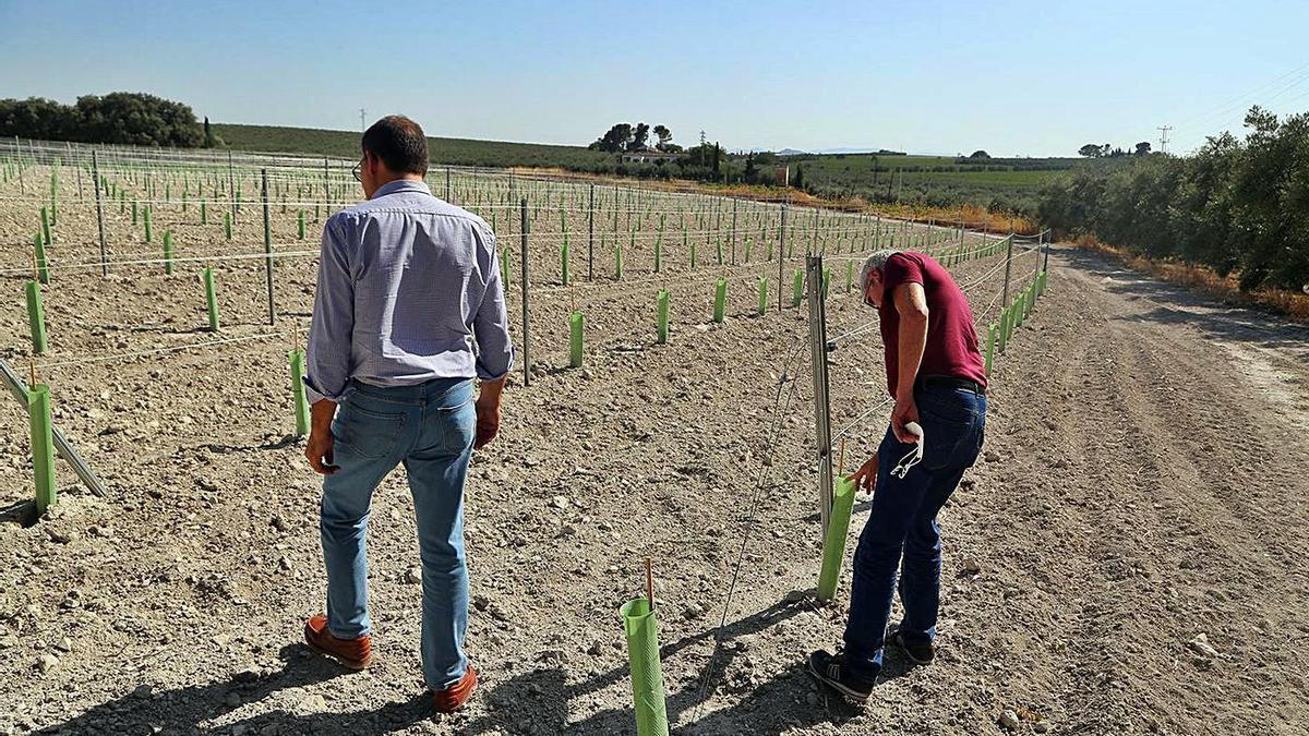Un viñedo de nueva plantación dotado de un sistema de seguridad para repeler la acción de los conejos.