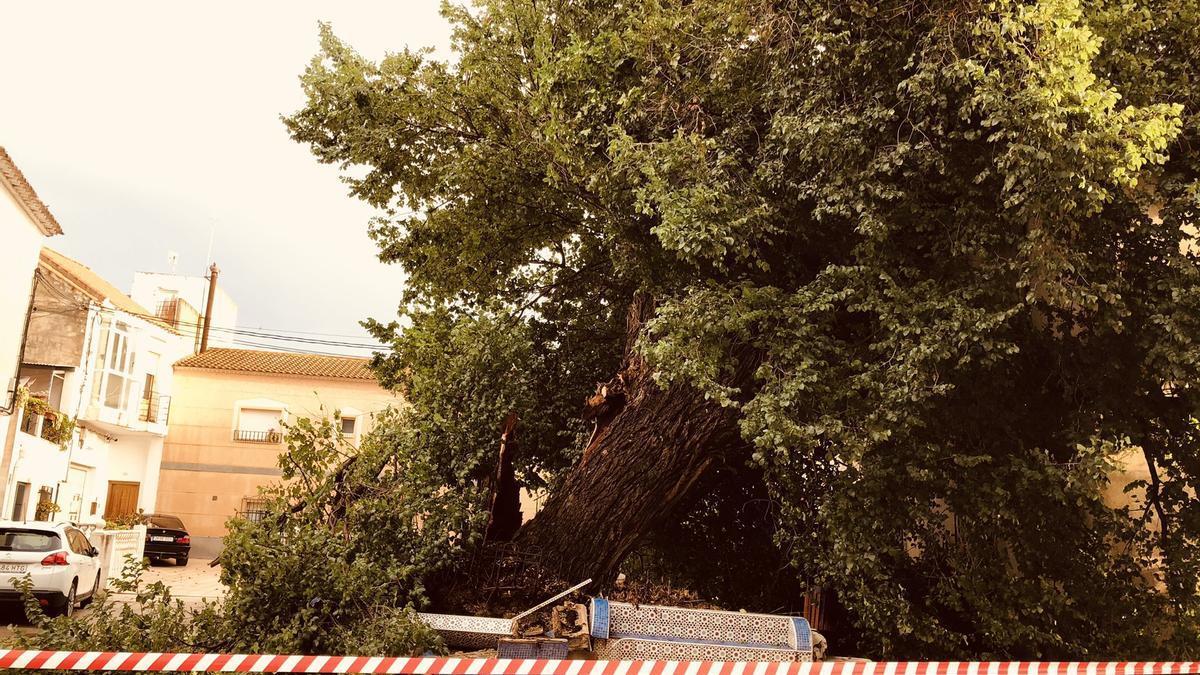 Árbol centenario de Librilla derribado por la fuerza del viento.