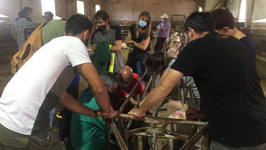 Así aprenden los ganaderos de Els Ports a hacer ecografías a sus ovejas