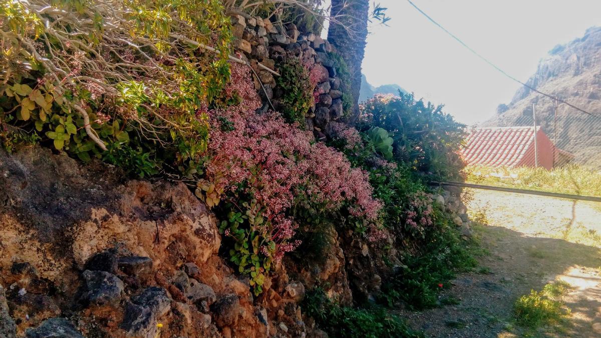 Crásura rosada, especie invasora.