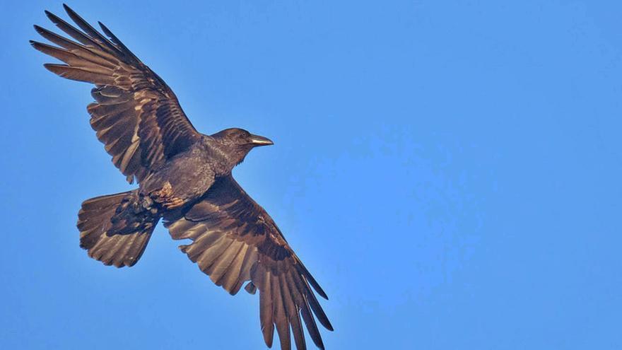 Los últimos cuervos de ibiza