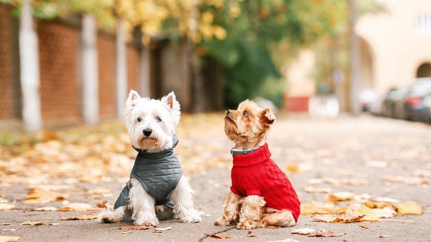 ¿Hay que abrigar a tu perro o gato si se saca de paseo cuando hace frío? Los expertos responden a esta duda