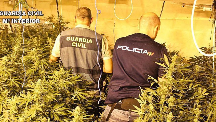 Macrooperación policial contra el cultivo de marihuana en Alzira, Alberic y Benimuslem