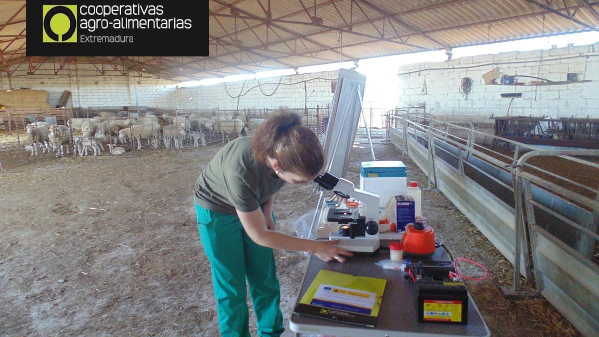 Una cooperativista realiza análisis in situ en una explotación de ovino.