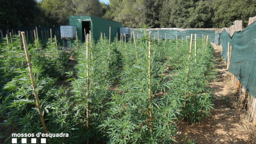 Tres detinguts per cultivar més de 3.100 plantes de marihuana en un polígon de Borrassà