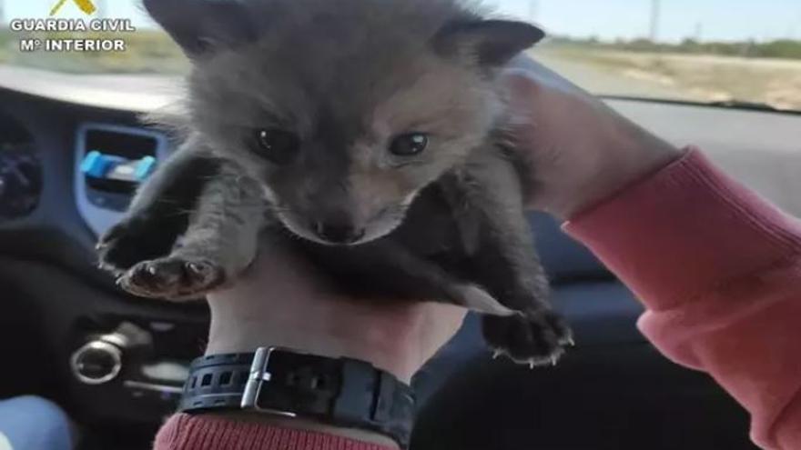 Una cría de zorro, a la venta en una web de anuncios por 550 euros