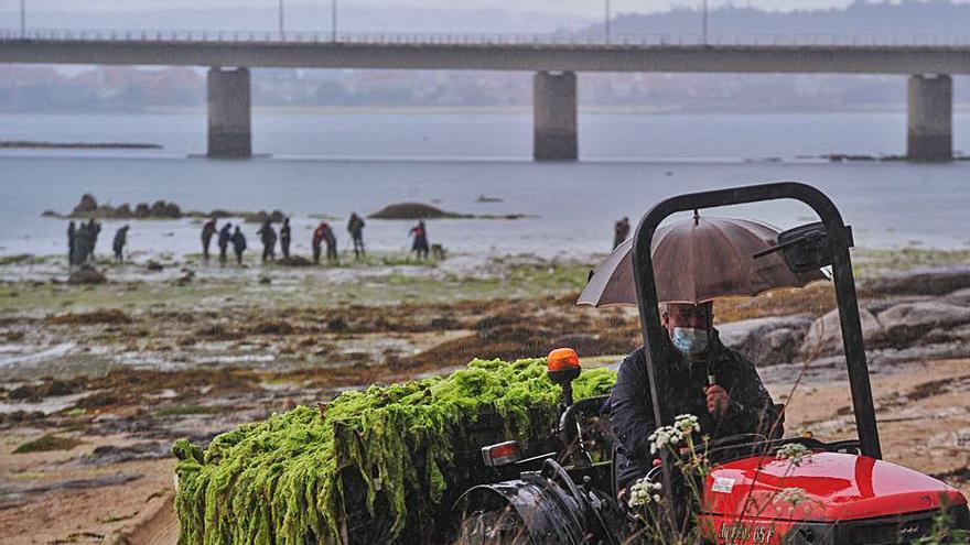 Limpieza de algas y siembra en el productivo banco de O Esteiro