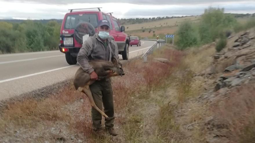 La fauna provoca tres accidentes en la N-122 en Trabazos