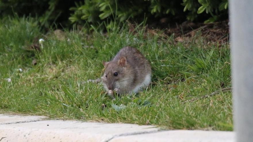 Una rata 'gigante' se establece en la rotonda de los juzgados de Castelló