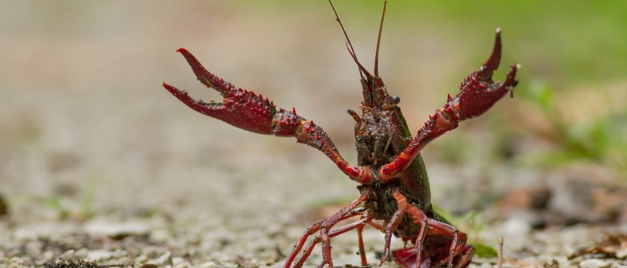Ya hay 306 especies invasoras en los ríos españoles y otras 272 están llegando