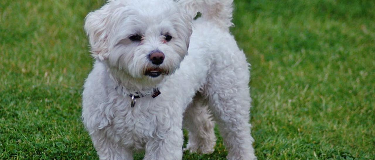Imagen de archivo de un bichón maltés, un perro de la misma raza que el del litigio. | INFORMACIÓN