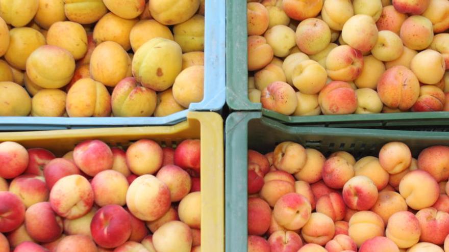 Zum Reinbeißen: Die Aprikosen-Ernte auf Mallorca hat begonnen
